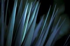 蓝色离开锋利的丝兰 免版税库存图片