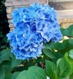 蓝色秀丽 图库摄影