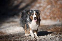 蓝色秋天狗步行的merle澳大利亚牧羊人画象  免版税库存图片