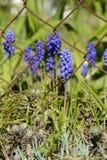 蓝色穆斯卡里花葡萄风信花,捷克,欧洲 库存照片