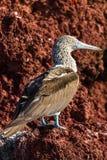 蓝色笨蛋有脚的加拉帕戈斯群岛 免版税库存图片