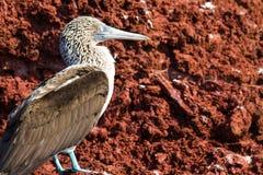 蓝色笨蛋有脚的加拉帕戈斯群岛 免版税库存照片