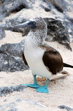 蓝色笨蛋有脚的加拉帕戈斯群岛seymour 免版税库存照片