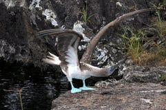 蓝色笨蛋有脚的海鸟 免版税库存图片