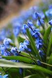 蓝色第一朵花在春天 免版税库存照片