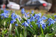 蓝色第一朵花在春天 库存照片