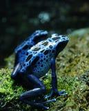 蓝色箭青蛙毒物 库存图片