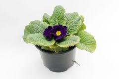 蓝色紫罗兰色樱草属 报春花 春天与在白色背景隔绝的绿色叶子的花樱草属 图库摄影