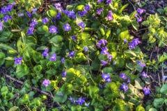 蓝色紫罗兰 库存图片