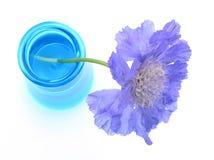 蓝色紫色scabiosa花瓶 免版税库存照片