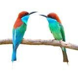 蓝色红喉刺莺的蜂eate鸟 免版税库存图片