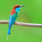 蓝色红喉刺莺的蜂eate鸟 图库摄影