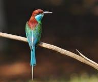 蓝色红喉刺莺的食蜂鸟 免版税库存图片