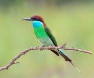 蓝色红喉刺莺的食蜂鸟 库存图片