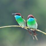 蓝色红喉刺莺的食蜂鸟 图库摄影
