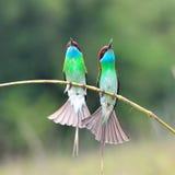 蓝色红喉刺莺的食蜂鸟 库存照片