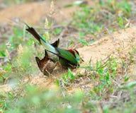 蓝色红喉刺莺的食蜂鸟 免版税库存照片
