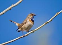 蓝色红喉刺莺的鸣鸟 免版税图库摄影