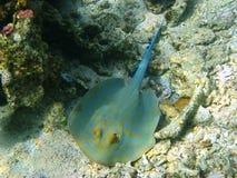 蓝色红海被察觉的黄貂鱼 图库摄影