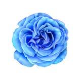 蓝色罗斯花 例证 库存图片
