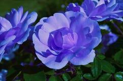 蓝色罗莎花 库存照片