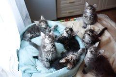 蓝色美丽的缅因浣熊色的小猫和黑在猫` s蓝色沙发 库存照片