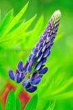 蓝色羽扇豆花 库存照片