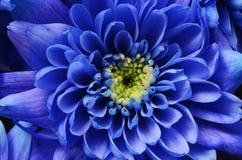蓝色翠菊花 库存照片