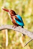 蓝色翠鸟鸟,在分支,额嘴离开  库存照片