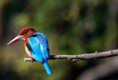 蓝色翠鸟鸟,在分支,额嘴离开 免版税图库摄影