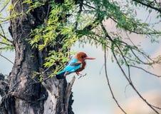 蓝色翠鸟鸟,在树,额嘴权利 免版税库存照片