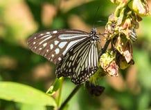 蓝色老虎蝴蝶在喀拉拉 库存图片