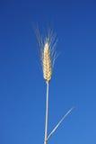 蓝色耳朵天空麦子 免版税库存图片