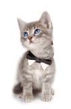 蓝色耳朵注视小猫大平纹 免版税库存图片