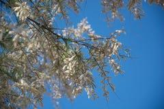 蓝色背景的白色地中海植物 库存照片