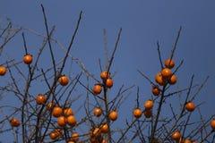 蓝色背景,垂悬在橙色柿子的分支 库存图片