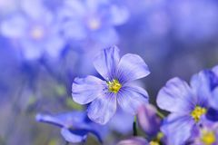 蓝色胡麻花Linum austriacum 免版税库存图片