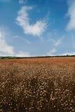 蓝色胡麻linum perenne多年生植物 免版税库存图片