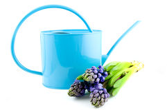 蓝色能风信花浇灌 库存照片