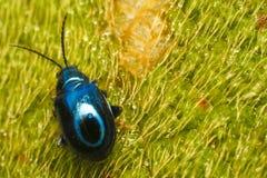 蓝色臭虫 库存照片