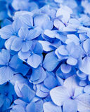蓝色花八仙花属 库存照片