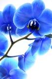 蓝色花兰花 免版税图库摄影