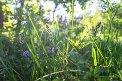 蓝色花和Germander speedwell或Veronica chamaedrys的年轻羊毛状的芽在晴朗的森林沼地 免版税库存照片