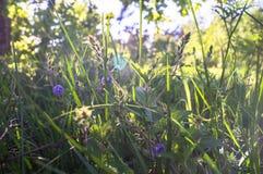 蓝色花和Germander speedwell或Veronica chamaedrys的年轻羊毛状的芽在晴朗的森林沼地 库存图片
