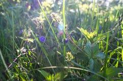 蓝色花和Germander speedwell或Veronica chamaedrys的年轻羊毛状的芽在晴朗的森林沼地 库存照片