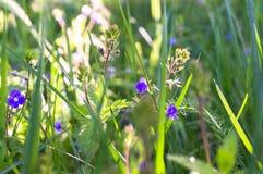蓝色花和Germander speedwell或Veronica chamaedrys的年轻羊毛状的芽在晴朗的森林沼地 免版税库存图片