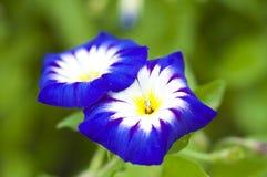 蓝色花在夏天 库存照片