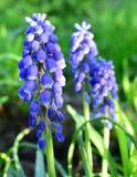 蓝色花在庭院里 免版税库存照片