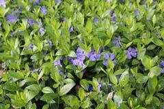 蓝色花在春天开了花 库存图片