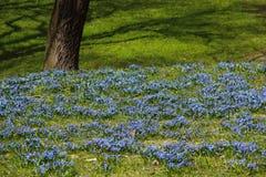 蓝色花在春天 库存图片